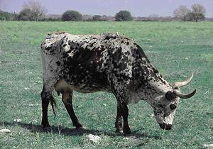 Корова Джорджа Буша